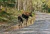 M-2005.9.14#0194. Alaska Moose. Kincaid Park. Anchorage,Alaska.