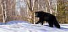 A Black Bear has just recently left it's den tree. Anchorage,Alaska. #49.140. 1x2 ratio format.