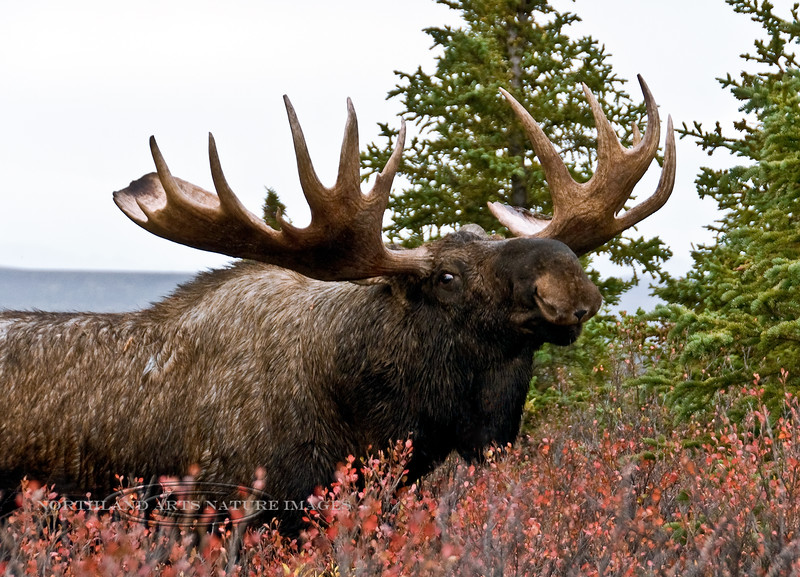 "A large heavy antlered ""rutty"" bull moose displaying. Denali National Park Alaska. #910.020. Will accommodate 2x3 or 3x4 ratio format."