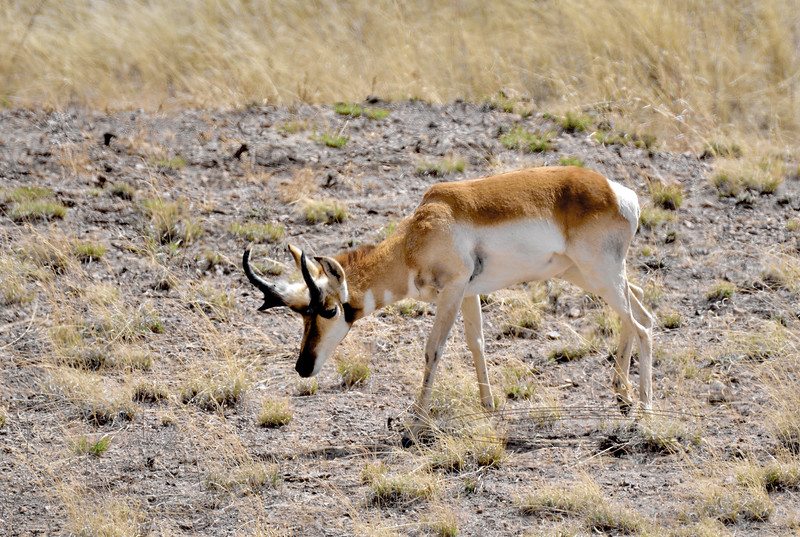 APS-2018.3.21#1215. Sonoran Pronghorn buck. Sonoita Arizona.