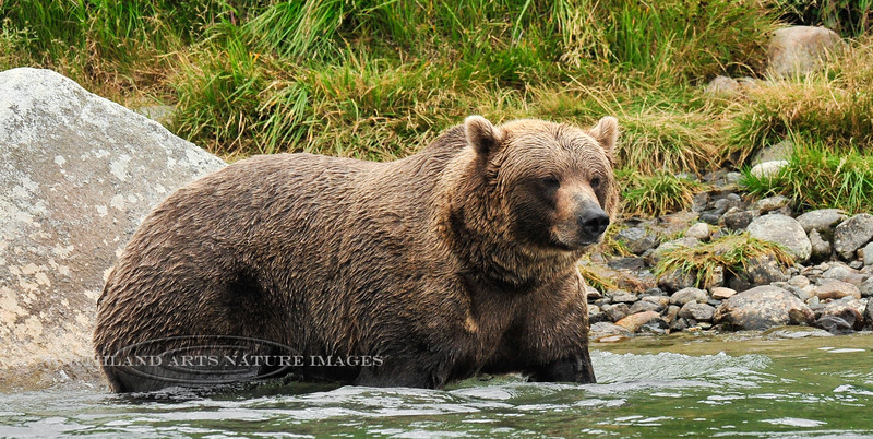 BBR-2010.8.12#221. A really large brown bear sow that hangs near Enders Island. McNeil River, Alaska.