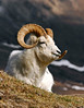 197-2005.5.14#0144. Dall Sheep. A young ram resting high in the hills on a warm spring day. Primrose Ridge, Denali Park Alaska.