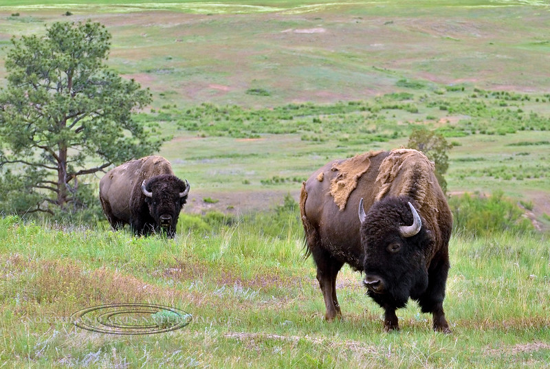 Bison. Rocky Mountains. #516.246. 2x3 ratio format.