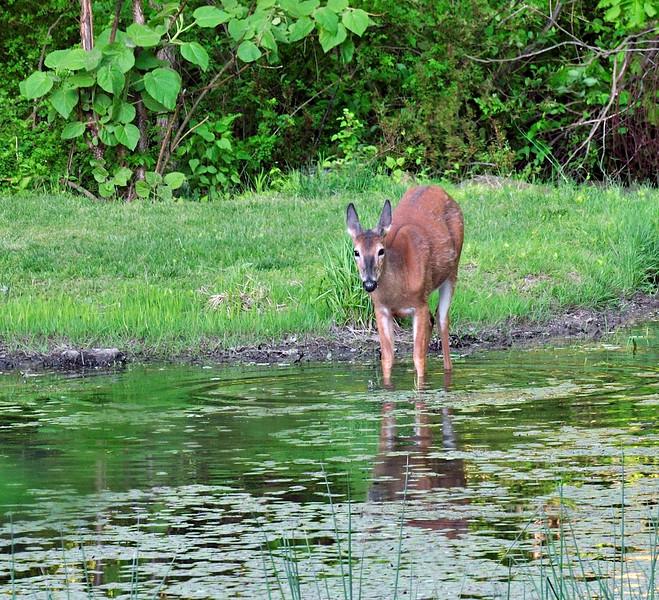 DW-2010.5.10#316. A whitetail doe getting a drink in a farm pond. Upper Black Eddy, Pennsylvania.