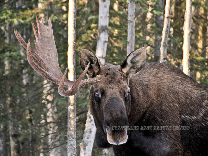 M-2008.10.28#025. This bull had some sort of accident and lost his left antler three years previous and never grew one on that side anymore. Kincaid Park, Anchorage Alaska.