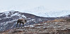 C-2010.10.8#038. A small bull caribou spooked and running towards me. Denali country, eastern Alaska Range Alaska.