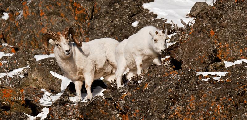 SD-2010.12.1#044. A large ram following a ewe close to estrus. Chugach Mountains, Alaska.