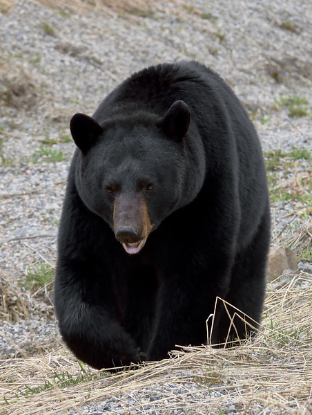 Bear, Black. A large male checking me out. Alaska Highway. 516.1071.