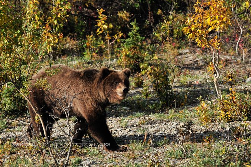BG-2010.8.25#071. Plain brown Interior Grizzly bear. Mile eleven, Denali Park Alaska.