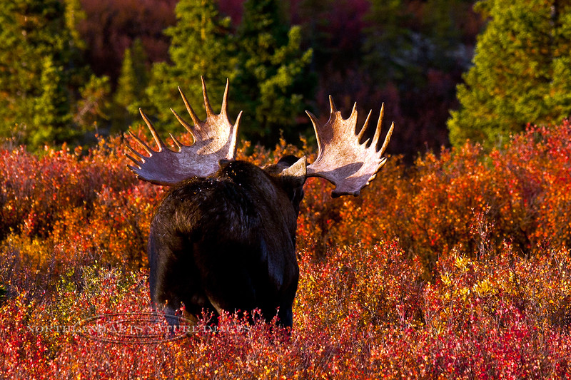 """155-2009.9.4#068. An Alaska bull moose shows his antlers in a """"flehmen"""" display. Denali National Park, Alaska. Other formats of this image are viewable in the moose section of this gallery."""