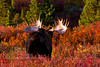 "155-2009.9.4#068. An Alaska bull moose shows his antlers in a ""flehmen"" display. Denali National Park, Alaska. Other formats of this image are viewable in the moose section of this gallery."