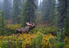 M-tf1-2008.8.3-A large bull moose displays blood stained antlers moments after stripping his velvet. Denali  National Park, Alaska. #tfsf83.034.