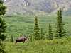 M-2016.6.13#167. Alaska Moose. Mile nine, Denali Park Alaska.