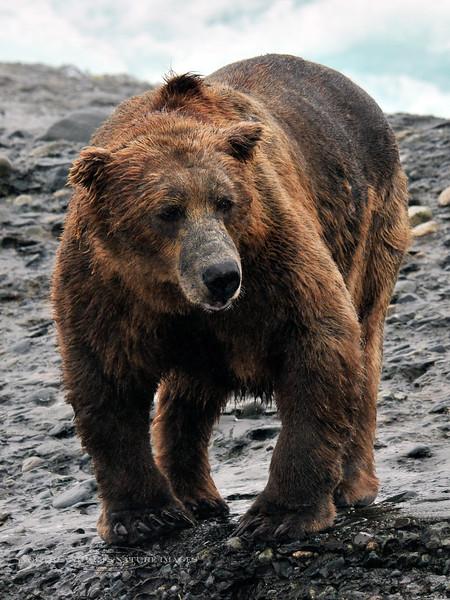 BBR-2010.8.13#127. A pretty gnarly old Brown bear. McNeil river falls,  Alaska.
