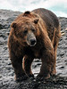 A pretty gnarly old Brown bear. McNeil river Alaska. #813.127. 3x4 ratio format.