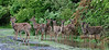 """DW-2012.4.23#039. A group of Whitetail deer up for some browsing on a rainy day in """"Penns Woods"""". Bucks County Pennsylvania."""