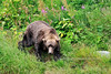 BBR-2010.8.12#022. A big boar Brown Bear coming to the river to fish. Enders Island, McNeil River,  Alaska Peninsula, Alaska.