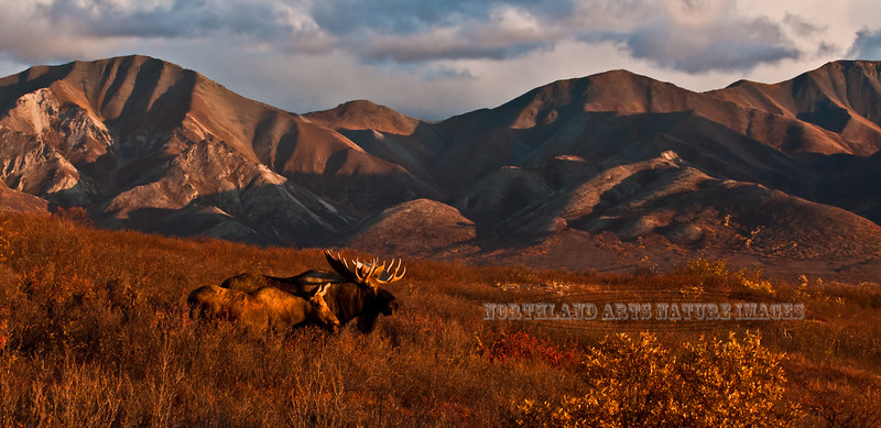 1-2011.9.13#268. A bull & cow moose are staring toward several other bulls working their way. This bull featured has just run a larger bull off. It was a dramatic event as the setting sun was casting these coppery golden hues on the scene. We are on the top of the outer Range hills looking over the broad expanse of the Savage country with a backdrop of the main south Alaska range behind the moose. Denali Park Alaska. I have only developed this one image from this evening but have many more I plan to develope in the future.