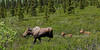M-2013.6.15#023.4. This cow moose didn't like where she was keeping her calves. We observed her moving them almost a half mile away. Denali Park Alaska.