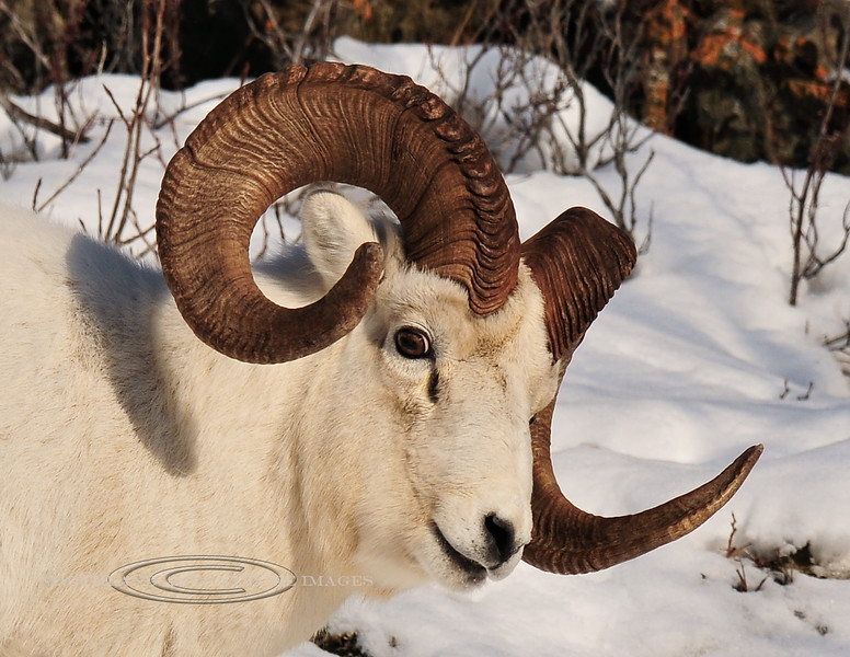 SD-2011.11.21#043-A portrait of a full curl Dall ram with slightly broomed right horn. Chugach mountains, Alaska.