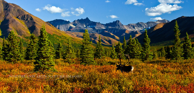 13-2012.8.22#237. A bull caribou in the autumn tiaga forest with evening light. North side of the Alaska Range, Alaska.