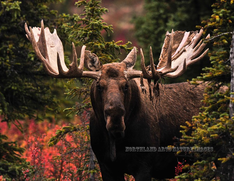 45-2011.8.31#127. A grand old bull with lots of character stares me down. Savage country, Denali Park Alaska.