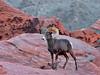 SBHD-2018.12.13#629. A Desert Bighorn ram.