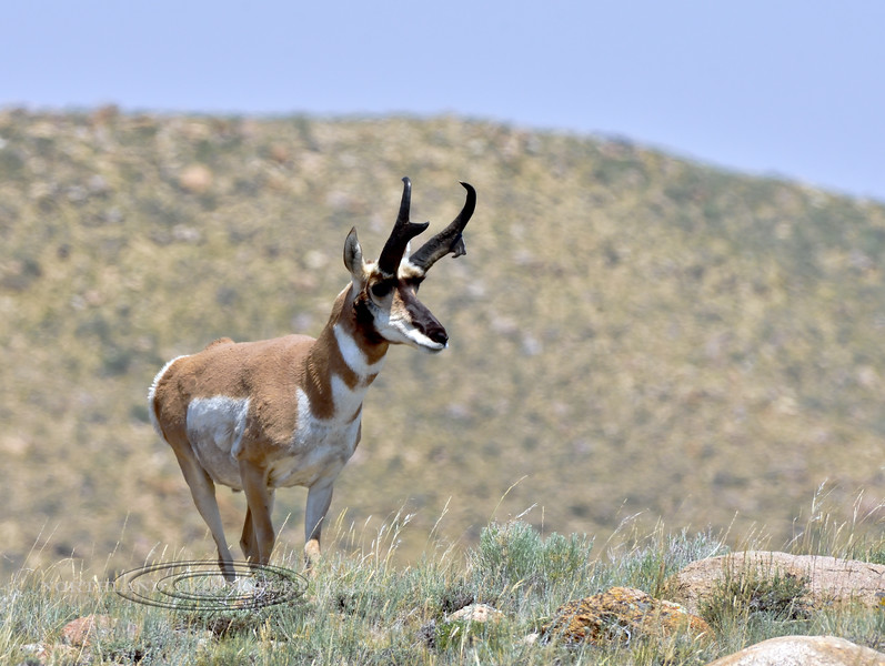 AP-2018.7.7#2846. A Pronghorn buck with an unusual droopy two point prong on his left side. Wyoming.