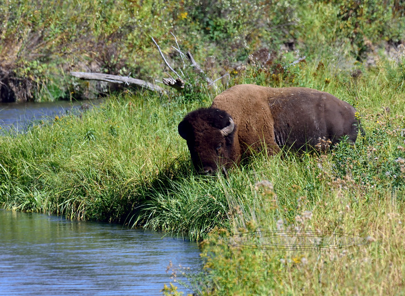BP-2017.9.11#834.2. A Plains Bison bull coming to drink in Mission Creek, Nat.Bison Range near Charlo Montana.