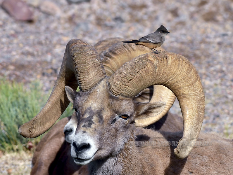 SBHD-2019.1.19#2218. A Desert Bighorn ram with a Say's Phoebe hitchin a ride..