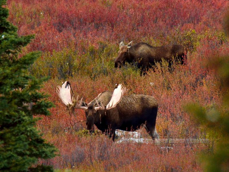 M-2014.9.2#327. A great bull. Ten mile, Denali Park Alaska.
