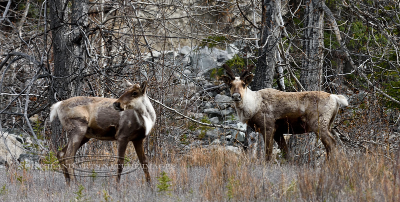 CMtn-2017.5.16#905.2. A pair of Mountain Caribou near Toad River, British Columbia Canada.