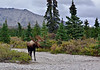 M-2016.8.23#342.6. A real nice bull moose still in velvet making his way down this drywash on a dark day in Denali Park Alaska.