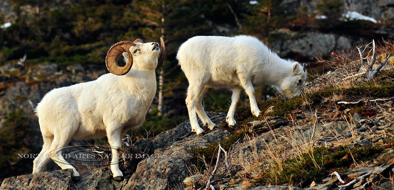 """115-2009.12.4#100. A large full curl Dall ram still tending a ewe near the end of the rut displays with a """"lip curl"""". Chugach mountains, Alaska."""