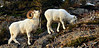 "A large full curl Dall Sheep ram tending a ewe near the end of the rut displays with a ""lip curl"". Chugach mountains, Alaska. #124.100. 1x2 ratio format."