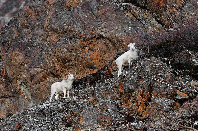 SD-2012.11.20#012.4. A really good ram following a ewe. Turnagain Arm Alaska.