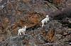 SD-2012.11.20#012.4. A really good ram following a ewe. Turnagain Arm Alaska.