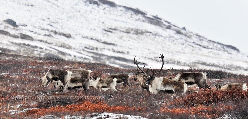 C-2010.11.27#048.Barren Ground caribou. The herd bull guarding his group of cows. Denali Country, Alaska Range Alaska.