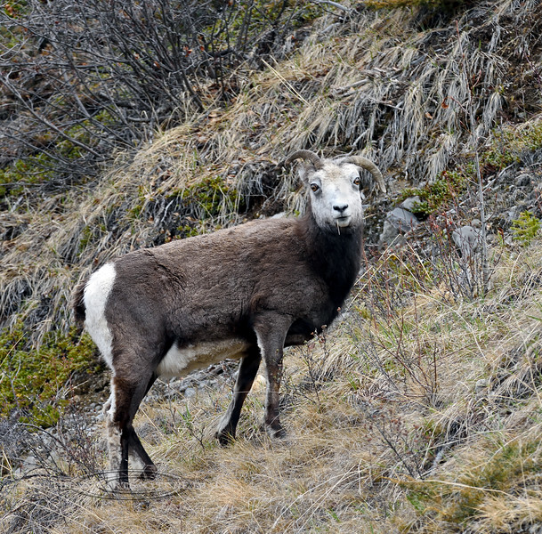 SS-2017.5.16#996.3. A Stone sheep ewe with a goofy turned down left horn. Stone Mountain, British Columbia Canada.