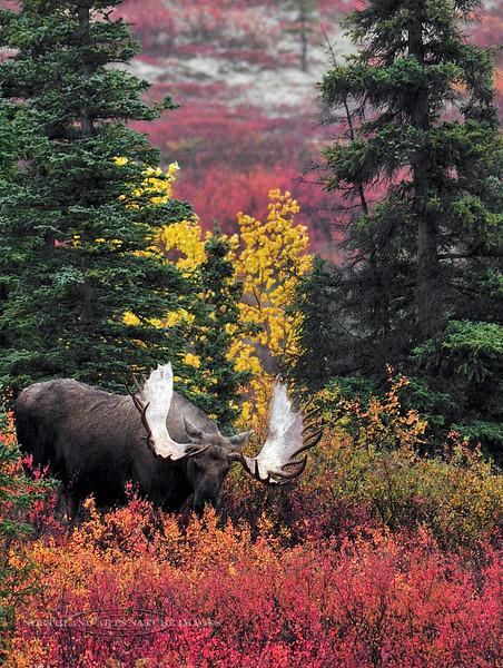 Moose, Alaskan. A grand bull in spectacular autumn color. Alaska Range, Alaska. #94.094. 3x4 ratio format.