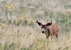 DM-2015.5.16#386. Mule Deer. National Bison Range, near Charlo Montana.