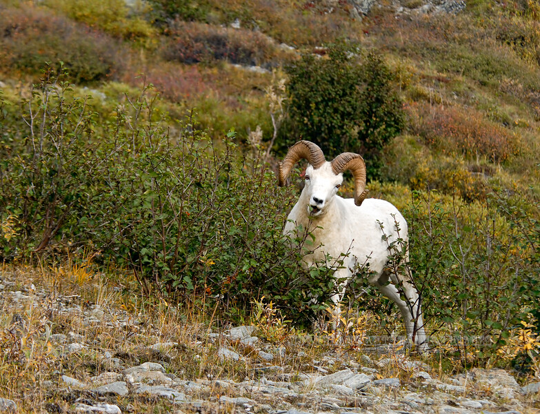 SD-2007.9.1#200-Alaska Dall ram showing evidence of him feediing on mountain alders. Denali Park Alaska.