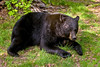 BB-2008.6.18#114. A magnum old boar black bear. Alaska Range, Alaska.