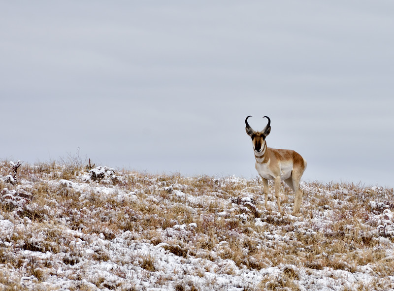 AP-2020.2.11#8956#2. A pronghorn buck is up and feeding as the snow fall is about over. Yavapai County Arizona.