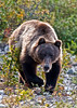 Interior Grizzly bear cruising the river bars looking for soapberries. Alaska Range, Alaska. #824.078. 2x3 ratio format.