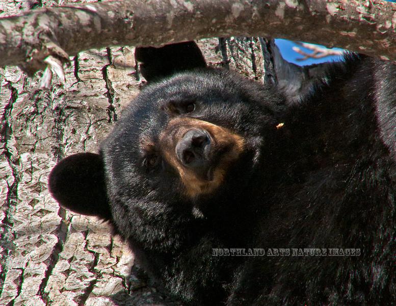 147-2011.4.12#099. A Black bear sow that denned in Chugach foothills, Anchorage, Alaska.