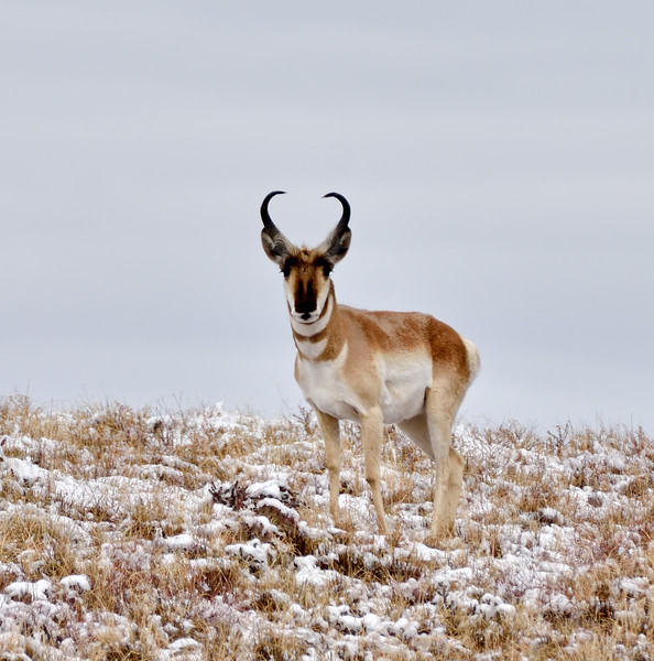 AP-2020.2.11#8958.3. A tighter image of the previous Pronghorn buck. Yavapai County Arizona.