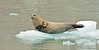 MM-Seal, Harbor. Kenai Fjords Nat. Park, Alaska. #84.8588. 1x2 ratio format.