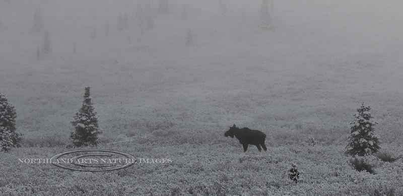Bull Moose in foggy spring snow-Alaska Range,Alaska. #53.294. 1x2 ratio.