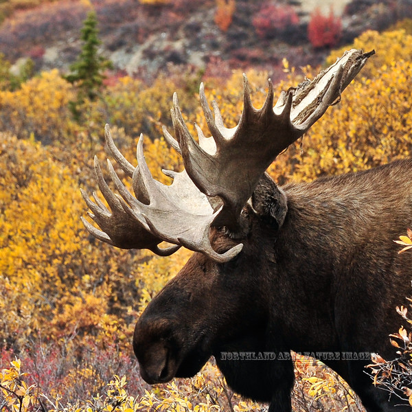M-2011.9.11#210. A truly magnificent old mature bull moose with very unusual and unique antler formation.  Mile twelve, Denali Park Alaska.
